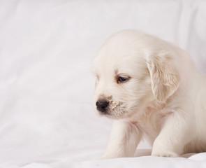 Small white retriever puppy on white background