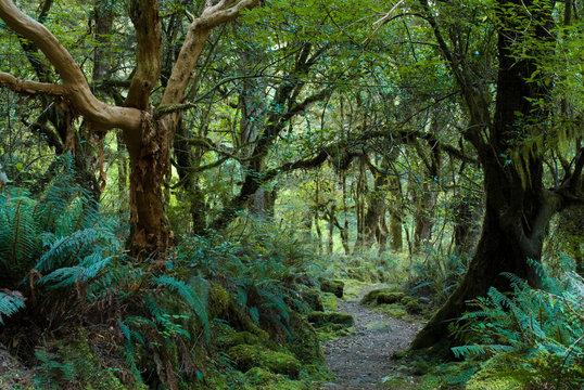 primeval forest on kepler track, fiordland, new zealand