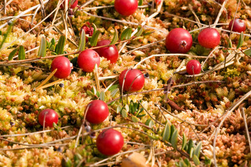 Wild cramberries growing in bog, autumn harvesting