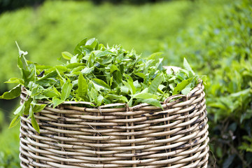 Image of a tea leaf basket used for harvesting tea leaves.