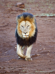 The huge maned lion walks to the photographers vehicle