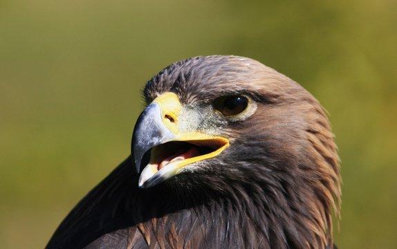 aigle royal portrait de profil bec ouvert