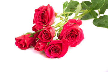 Red roses close-up isolated on white background