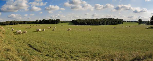 sheep animal farm farming agriculture wool livestock animal