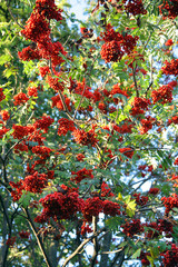 Red berries on the bush of the rowan