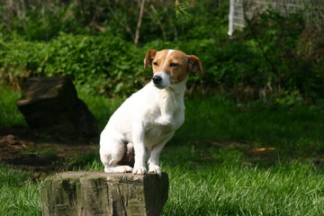 jack russell terrier perché