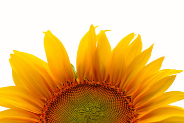 flower of sunflower on  white background