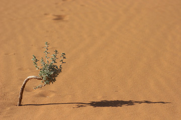 Very small tree with shadow in Sahara desert