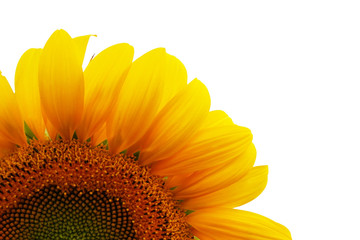 Isolated sunflower on white background