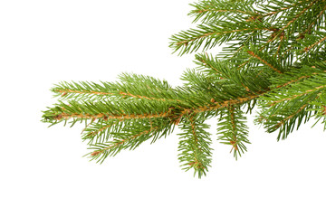 Fir tree branch on a white background. Close up.