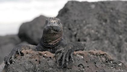 Gaapagos Meerechse auf der Lauer