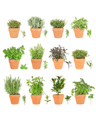 Large Herb Selection in Pots