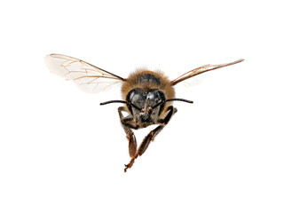 Honey Bee Looking Right At You With Extreme Detail