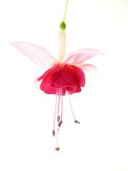 Red Fuchsia