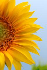 sunflower on  background of sky