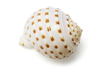 Conch Shell on Isolated White Background