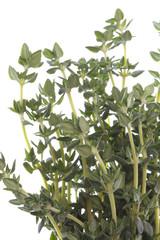 Isolated macro image of Thyme.