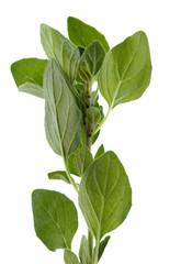 Oregano or Pot Marjoram herb leaves used in cooking.