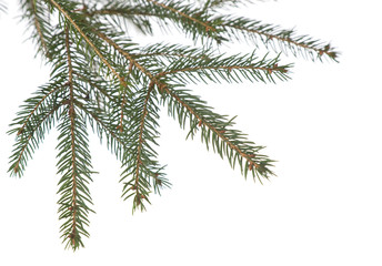 Fir tree branch isolated . Christmas decoration..