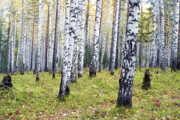 Spoed Foto op Canvas Berkbosje A birchwood in the autumn