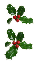 Collection of sprigs of European holly (Ilex aquifolium)