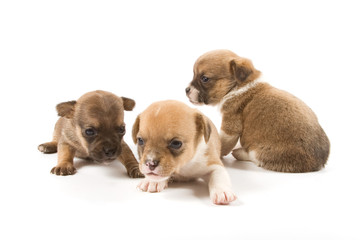 Three puppies on white background