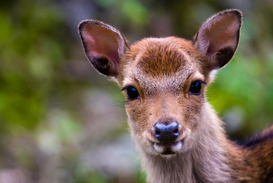 portrait of a young sika deer fawn (lat. Cervus nippon)