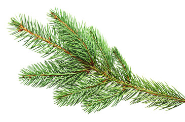 fir closeup