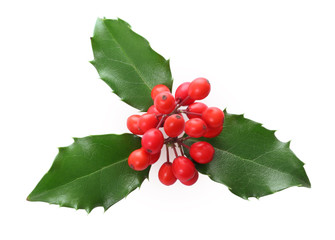 Holly leaves and berries isolated.