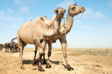 Photo of two camels walking near the horses
