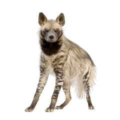 Tuinposter Hyena Striped Hyena in front of a white background