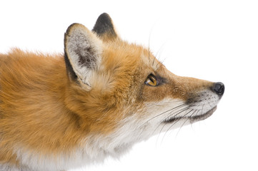 Red fox (4 years) - Vulpes vulpes in front of a white background