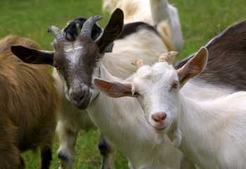 Herd of goats on mountan meadow