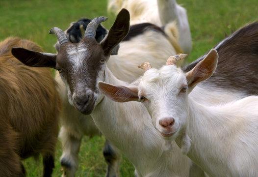 Herd of goats on mountan meadow