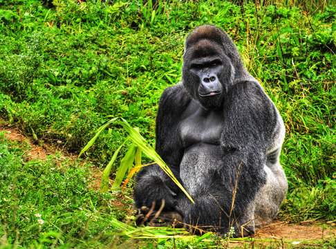 An HDR image of a male silver back gorilla