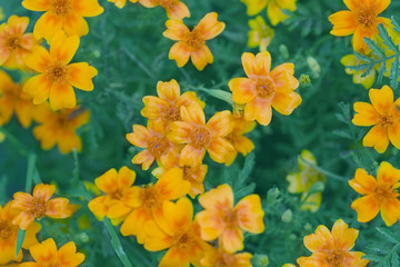 Orange pot marigold field