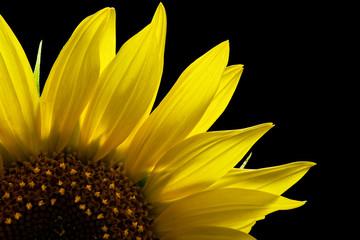 part of sunflower on black