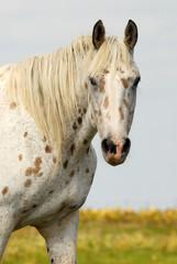cheval appalosa dans une prairie