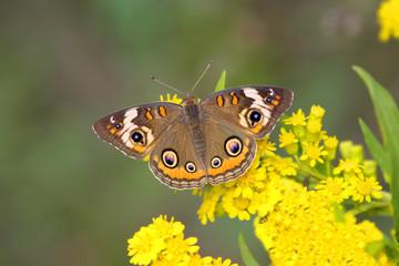Fotoväggar - Common Buckeye Butterfly (Junonia coenia)