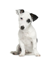 Jack russell (5 months) in front of a white background