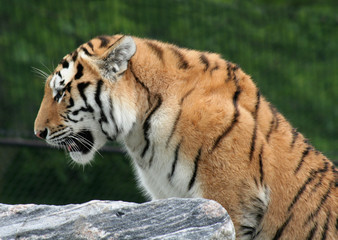 Mighty Siberian Tiger