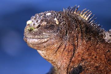 Sonnende Galapagos Meerechse