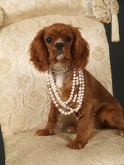 Stock photo of a King Charles Cavalier puppy