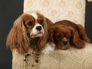 Stock photo of two King Charles Cavalier puppies