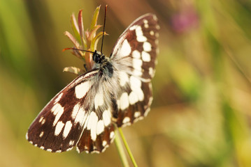 marbled white butterfly on flower (Melanargia galathea)