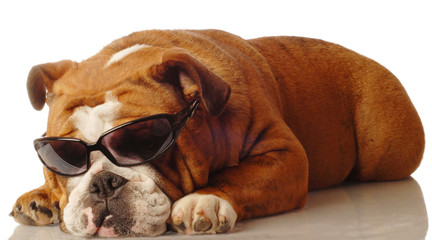 english bulldog wearing dark sunglasses