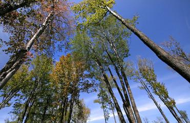 Tall Autumn Trees