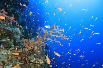 Living coral reef