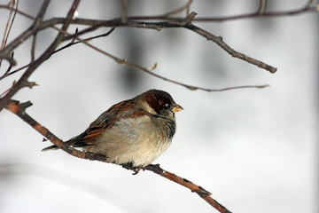 Small sparrow sitting on a branch of a tree