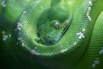 Python vert, Chondropython viridis
